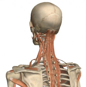 Deep Posture Muscles