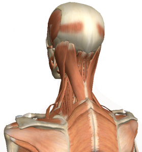 Intermediate Muscles of the neck