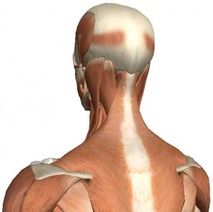 Surface muscles of the neck and back