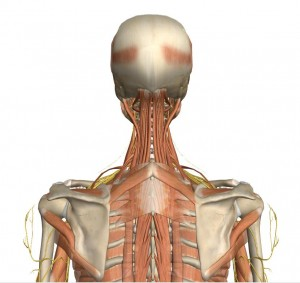 Deep muscles of the cervical spine